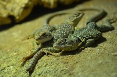 The trio (dfromonteil) Tags: lzard lizard yellow jaune trio three trois macro bokeh nature animal look eyes yeux regard reptile