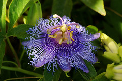 Out of the green (Steenjep) Tags: samos holiday ferie greece grkenland flower blue detail passionsblomst passiflora incense