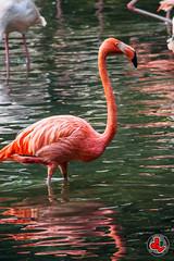 Flamingo (jonathan.leung) Tags: china city portrait blur bird nature animal dof bokeh flamingo olympus zuiko omd  panyu  m43   600mm  project365 jonathanleung em5 flamingoe  chimelong   onedayonephoto dchome    simplysuperb omuser  jlphotography micro43 microfourthirds flickrhongkong chimelongsafaripark flickrunitedaward getolympus mzuiko  somedayillfly flickrbronzetrophygroup olympusomdem5 mzuikodigitaled75300mmf4867ii dchomenet olympus flickrhkma ezm75302  omusercom