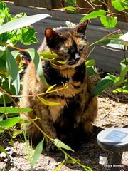 coco (damselfly58) Tags: cat ginger furry feline funny chat siamese gatos tortie burmese gatti