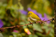 Sri lanka White eye  bird