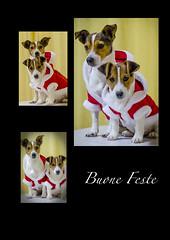Christmas Dog (francesco.marino) Tags: christmas red dog jack happy nikon holidays russel merry d5100