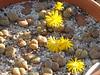 DSCF0373 (BobTravels) Tags: plant stone bob lithops lithop messem bobwitney