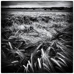 Ready for harvesting (DigitalClickr) Tags: bw monochrome harvest