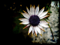 Like The First Morning (Groovyal) Tags: life morning sun flower art love nature sunshine garden print photography image eden morninghasbroken groovyal likethefirstmorning