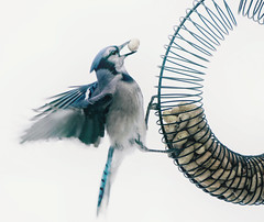 Feeding frenzy (katerha) Tags: bird birdfeeder feeder peanuts bluejay