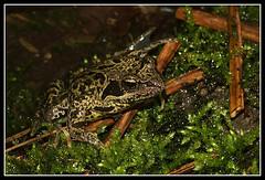 Rana iberica (henk.wallays) Tags: macro nature closeup wildlife natuur 1999 frog date rana frosch aaaa kikker vertebrate amphibie anura amphibia lurche amphibien ranidae chordata amfibie vertebrata ranaiberica anfíbios amfibien gewervelden henkwallays земноводні