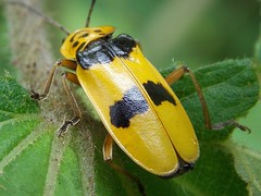 Chauliognatus sp. - Cantharidae (iagobueno) Tags: macro yellow closeup soldier beetle insects insetos besouros leatherwings