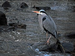 Kelvin Heron (Bricheno) Tags: bird heron river scotland glasgow escocia kelvin szkocja torrent weir schottland greyheron scozia riverkelvin wader cosse  esccia   bricheno scoia