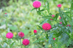 Hana-azami: Japanese thistle cv. (deep-pink) (qooh88) Tags: pink thistle cirsium palepink deeppink    cultivar    carduoideae    japanesethistle  photo   cirsiumjaponicum cirsiumjaponicumcv