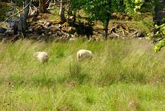 Sheep in the meadow (annamaart) Tags: summer archipelago sommar skrgrd stockholmarchipelago stockholmsskrgrd arholma
