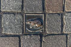 Rattenstein (Patrice von Collani) Tags: street animal germany deutschland patrice ratte tier pflaster boden norddeutschland niedersachsen lowersaxony northgermany hameln pflastersteine pflasterstein strase fusgngerzone patricevoncollani voncollani