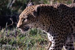 Su alteza paseando (Moremi-Botswana) (javiergarribas) Tags: africa animals leopardo wildlife leopard animales botswana moremi vidasalvaje