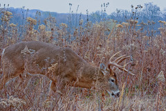 HeadToTheGround (jmishefske) Tags: park november boy nature wisconsin franklin big nikon head wildlife ground down center deer rack milwaukee buck whitetail wehr antler 2014 whitnall halescorners d7100