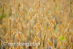 Close-up of soybeans in field in Millerstown, Pennsylvania, USA (Remsberg Photos) Tags: usa field closeup pennsylvania harvest growth crop ag farms soy farmer soybean agriculture pods legume millerstown