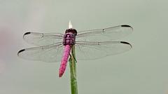 Roseate Skimmer Dragonfly -- Male (Orthemis terruginea) -- Male; Tucson, Arizona, Chistopher Columbus Park, [Lou Feltz] (deserttoad) Tags: park arizona lake nature water insect pond dragonfly odonate