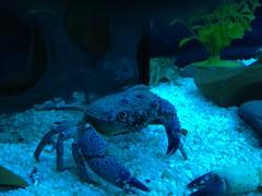 Blue Crab Stands Sideways (alexwinger) Tags: world blue underwater crab arthropod