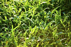 Morning Dew (cameolarryse) Tags: morning plants green nature water grass rain closeup droplets earth rainy waters grassroots morningdew