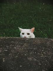 Whata? (adivinhequeporra) Tags: cats nature cat gatos gato gatobranco photophotospicpicstagsforlikespicturepicturessnapshotartbeautifulinstagoodpicofthedayphotoofthedaycolorallshotsexposurecompositionfocuscapturemoment