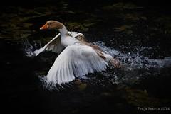 goose playing (frejapeachtree) Tags: pet water wales goose splash