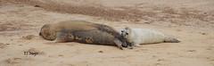 Peeking (EJ Images) Tags: uk england slr beach coast sand nikon norfolk panoramic coastal seal seals pup dslr horsey eastanglia 2014 sealpup nikonslr d90 norfolkcoast sealpups nikondslr horseybeach nikond90 55300mmlens norfolkcoastal ejimages dsc559701c