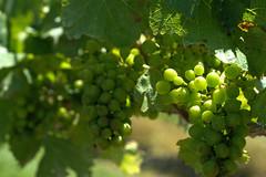 Grapes-3 (Snoflake2013) Tags: newzealand summer leaves vines wine grapes hawkesbay
