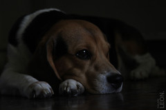 theo #01 (philippeleon.com.br) Tags: dog beagle look bored thoughtful cachorro