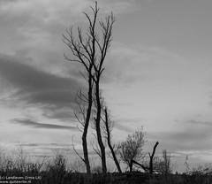 Long and tortuous branches reach until the sky (Landleven (Irma Lit)) Tags: light cloud netherlands nederland lucht lelystad wolk oostvaardersplassen wildernis geocity camera:make=nikoncorporation camera:model=nikond300 exif:make=nikoncorporation exif:lens=1801050mmf3556 geostate geocountrys exif:model=nikond300 exif:aperture=ƒ80 exif:isospeed=400 exif:focallength=38mm oostvaardersplassenlelystadalmerewerkgroeplandschapfotoschoolstatiefdecember2014bomendesolaatlandschap