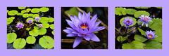 (groecar) Tags: nature pond triptych waterlily collages waterlilies watergardens lilypads ponds lilyponds triptychs purpleandgreen waterponds beautifulwaterlilies carolgroenen