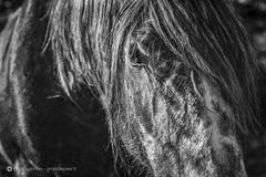 La force d'un regard (graindepixel.fr) Tags: cheval oeil equine chevaux pr trait questre crinire