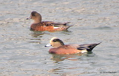 DSC_0080 (rachidH) Tags: sf sanfrancisco nature birds ducks waterfowl canard oiseaux americanwigeon anasamericana baldpate heronsheadpark canarddamrique rachidh