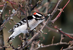 "Downy Woodpecker • <a style=""font-size:0.8em;"" href=""http://www.flickr.com/photos/29084014@N02/16229981601/"" target=""_blank"">View on Flickr</a>"
