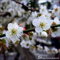 P1220843 (5a) Tags: taiwan taichung plumflower  taiwantrip