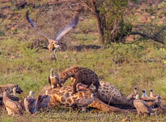 Another Vulture chase by the Hyena taking ownership of the carcass (Nobby31) Tags: park nature mammal african wildlife vulture predator hyena