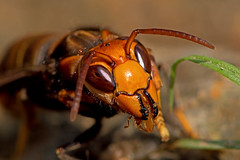 Vespa velutina - the Asian Hornet enjoying lunch (BugsAlive) Tags: macro nature animal insect thailand wasp outdoor wildlife insects hornet chiangrai hymenoptera vespidae vespinae vespavelutina asianhornet liveinsects lamnamkoknp