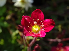 Simply red-Hello-World (johnb/Derbys/UK) Tags: red flower macro nature nice tiny bloom lovely mygarden