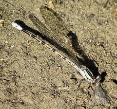 Damselfly (maytag97) Tags: macro texture closeup insect soil dirt upclose damselfly maytag97