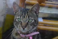 Little Mara ! (Mara 1) Tags: portrait face kitten stripes tabby indoors
