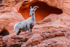 Surveying Her Kingdom (James Marvin Phelps) Tags: valleyoffire nature outdoors photography desert nevada lamb ram mojavedesert desertbighornsheep bighornsheep ewe valleyoffirestatepark wildlifephotography jmpphotography jamesmarvinphelps jamesmarvinphelpsphotography