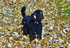 (Jean Arf) Tags: autumn dog fall leaves puppy play rochester astrid poodle highlandpark standardpoodle