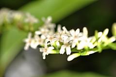 malasumbung (dog tail) (DOLCEVITALUX) Tags: flowers plants flower fauna flora philippines medicinalplants dogtail malasumbung