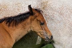 Side by side (FocusPocus Photography) Tags: horse animal und colours arabian pferd tier farben foal haupt fohlen araber marbach landgestt araberfohlen araberpferd