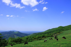 - Cows graze grass. (shig.) Tags: trees sky cloud mountain tree green field animal clouds canon landscape eos cow cows outdoor plateau hill ridge mountainside grassland  foothill 70d bulesky