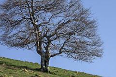 Parallle  la pente (mrieffly) Tags: arbre canoneos50d vosgesalsace