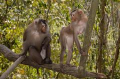 Pig-tailed Macaques (Macaca nemestrina)) (Mattsummerville) Tags: thailand mammal primate khaoyai pigtailedmacaque