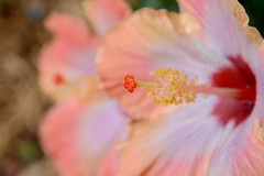 My Hibiscus II (brev99) Tags: flowers closeup garden bokeh echo pistil hibiscus layers anther d7100 sigma1770os cacorrection dxooptics8
