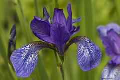 Giaggiolo (Marco Ottaviani on/off [unavailable]) Tags: iris plants flower nature canon natura fiore piante iridaceae marcoottaviani