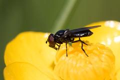 Melanogaster nuda / Kaal Doflijfje (peter.lindenburg) Tags: hoverfly syrphidae vaals zweefvlieg kaaldoflijfje melanogasternuda elzetterbos