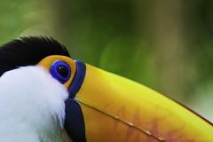 (Bianca Lazarini) Tags: toucan ave tucano