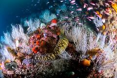 Europa Reef (ShaunMYeo) Tags: scubadiving gibraltar calpe underwaterphotography  gibilterra ikelite      gibraltr  cebelitark gjibraltar ibraltaro hibraltar xibraltar giobrltar gibraltrs gibraltaras ibilt            europareef